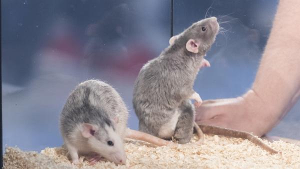 Sie haben heute ihren großen Auftritt: Ratten. | Rechte: ZDF/Ralf Wilschewski