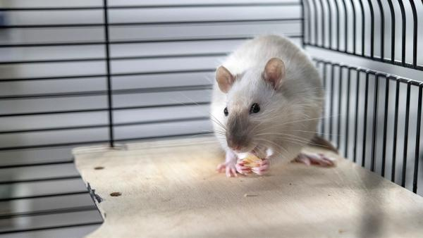 Die Ratte Amadeus. | Rechte: KiKA/Erik Drews