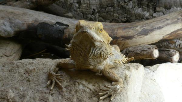 Mini Dinos: Agamen / Bartagame | Bild: BR/Text und Bild | Rechte: BR/Text und Bild
