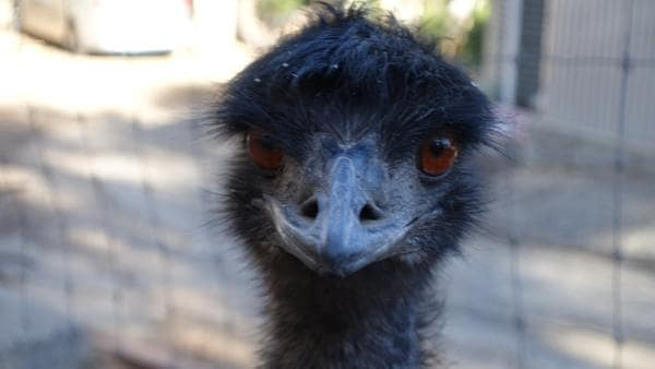 Der Emu legt nur grüne Eier   Emus haben große, orangefarbene Augen und können sehr gut sehen.   Bild: BR    Text und Bild Medienproduktion GmbH & Co.KG   Rechte: BR    Text und Bild Medienproduktion GmbH & Co.KG