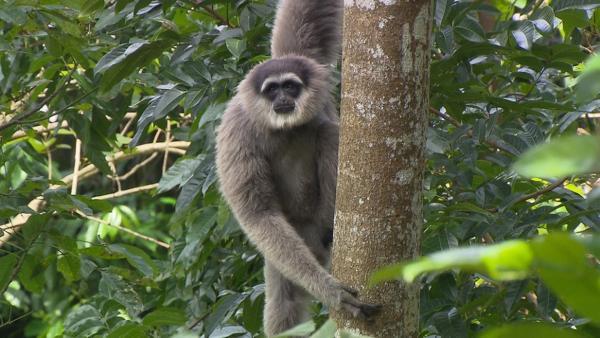 Der Gesang der Gibbons / Gibbons sind sogenannte Kleine Menschenaffen. Es gibt sechzehn verschiedenen Arten von ihnen. Der Silbergibbon ist eine davon. | Bild: BR / Text und Bild | Rechte: BR / Text und Bild