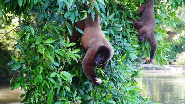 Die Affen mit den breiten Nasen / Wollaffen fressen nicht nur Obst und Blätter. Sie plündern auch gerne Vogelnester, denn Eier sind nahrhaft und sorgen für ein glänzendes Fell. | Bild: BR / Text und Bild | Rechte: BR / Text und Bild