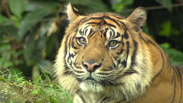Im Revier der Tiger / Typisch für den Sumatra-Tiger ist der ausgeprägte Backenbart. | Bild: BR/TEXT + BILD Medienproduktion GmbH & Co. KG | Rechte: BR/TEXT + BILD Medienproduktion GmbH & Co. KG