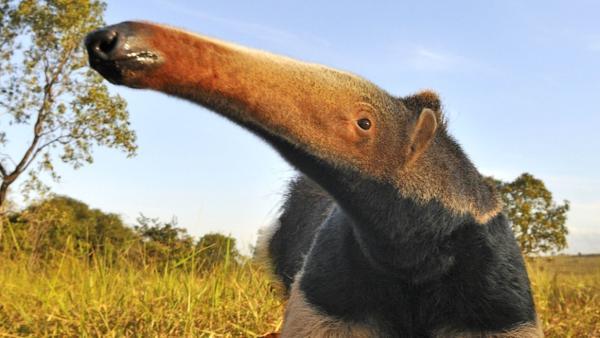 Großer Ameisenbär (Goias, Brasilien) | Bild: BR/Adam White | Rechte: BR/Adam White