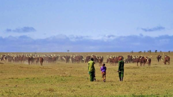 Emily und John wollen heute Ankole Rinder mit den Masai Hirten auf die Weide bringen. | Rechte: SWR/FF-movie.tv Film- und Fernsehproduktion