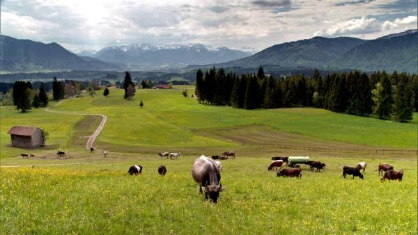 Die Kuh Lena lebt mit ihrer Herde bei Bauer Reinhold im Allgäu. | Rechte: WDR