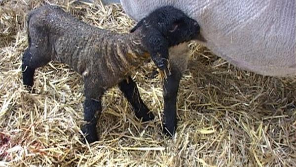 Ein neugeborenes Lämmchen macht seine ersten wackeligen Schritte auf der Weide. | Rechte: WDR