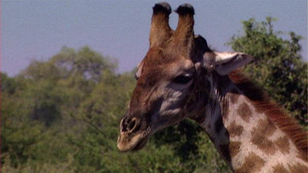 Die Giraffen in Afrika können dank ihres langen Halses die leckersten Blätter ganz oben an den Bäumen erreichen. Doch was machen sie, wenn sie Durst haben? | Rechte: WDR
