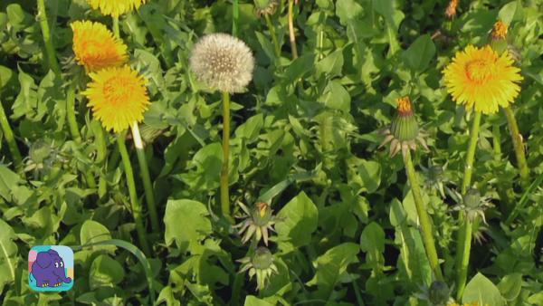 Auf der Wiese wachsen Pusteblumen und gelber Löwenzahn.    Rechte: KiKA