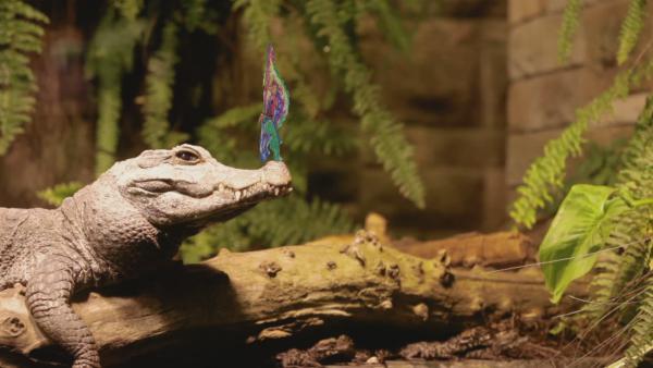 Ein buntes Steckkkrokoil von ENE MENE BU tanzt auf der Schnauze eines echten Krokodils. | Rechte: KiKA