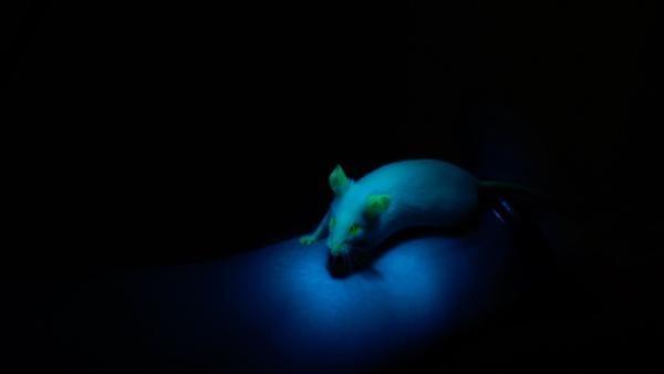 """Gentechnik soll die Züchtung ablösen. Dabei werden Tiere ganz nach unserern Bedürfnissen """"optimiert"""", wie z.B. diese gentechnisch veränderte Maus, die unter Schwarzlicht grün leuchtet.   Rechte: KiKA/tvision GmbH"""