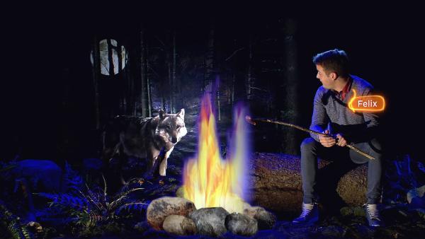 Felix schaut sich heute das größte Raubtier an, das jetzt wieder in europäischen Wäldern lebt - der Wolf.   Rechte: KiKA