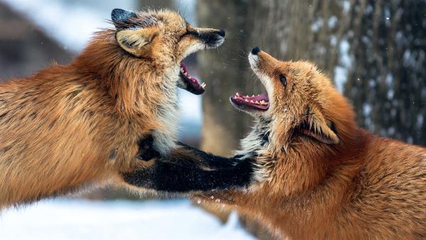Zwei Füchse kämpfen miteinander. | Rechte: KiKA/CloudVisual/Unsplash