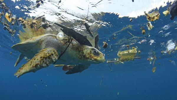 Schildkröte im Wasser. Um sie herum Plastikmüll. | Rechte: imago stock&people