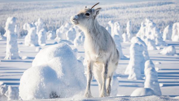 Ailo wächst auf der abenteuerlichen Reise durch die raue Wildnis Lapplands allmählich zu einem großen Rentier heran. Doch der Weg durch die Kälte der majestätischen Tundra ist beschwerlich. | Rechte: ZDF/Ascot Elite Entertainment