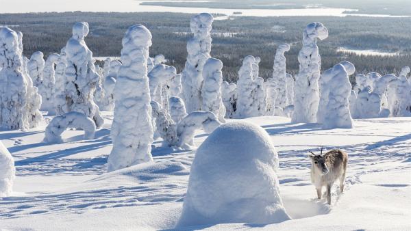 Ailo wächst auf der abenteuerlichen Reise durch die raue Wildnis Lapplands allmählich zu einem großen Rentier heran. Nun kann er der Kälte der majestätischen Tundra trotzen. | Rechte: ZDF/Ascot Elite Entertainment