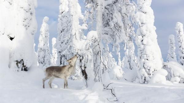 Ailo sucht inmitten der eisigen Tundra nach Nahrung. Doch die karge Landschaft hat kaum etwas Essbares zu bieten. | Rechte: ZDF/Ascot Elite Entertainment
