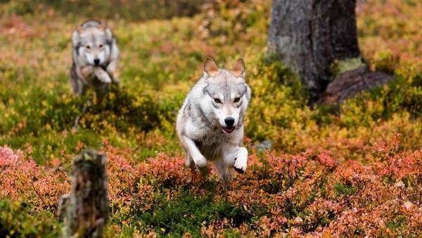 Die Wölfe haben entdeckt, dass sich ein junges Rentier in ihrem Revier aufhält. Gemeinsam versuchen sie, das Jungtier zu jagen und zu umzingeln. | Rechte: ZDF/Ascot Elite Entertainment