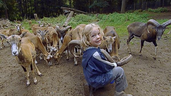 """In der """"Ich kenne ein Tier""""- Doku füttern Kinder Mufflon-Schafe. Die sind besonders schlau und erkennen genau, wer sie füttern will.   Rechte: SWR"""