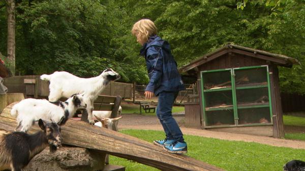 """Ziegen können sehr gut klettern und noch besser balancieren. In der """"Ich kenne ein Tier""""-Reportage schauen wir, ob wir da mithalten können.    Rechte: SWR"""