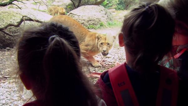 Löwen sind langsamer als ihre Beute. Wie sie schaffen, trotzdem erfolgreich zu jagen, das machen Diego und seine Freundinnen heute vor. | Rechte: KiKA