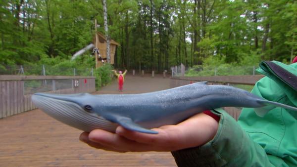 Ein Wal ist so groß, dass man es sich kaum vorstellen kann. Eine Kindergruppe versucht es trotzdem und findet lustige Vergleiche für die Größe eines Wals. | Rechte: KiKA