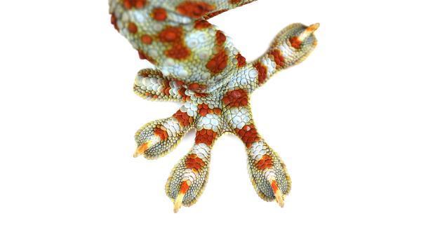 Geckos laufen mühelos an Wänden und Decken. An den Fußzehen haben sie Lamellen mit winzigen Haaren. Die wiederum haben noch viel winzigere Härchen. Alles zusammen wirken sie wie Klebepunkte mit einer großen Haftkraft. Nach diesem Vorbild wollen die Forscher einen superstarken Trockenkleber  entwickeln, der sich leicht und spurenlos wieder lösen lässt. | Rechte: colourbox.com