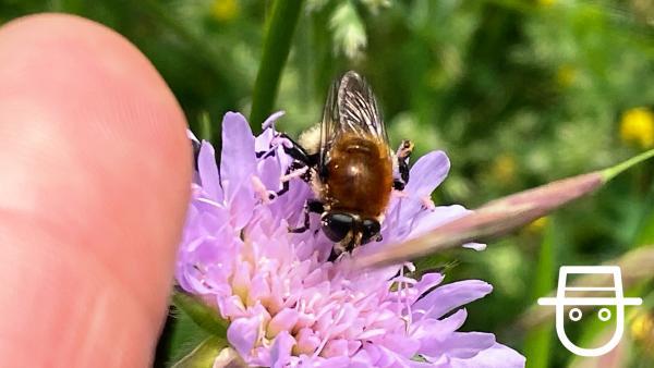 Insektenfoto Ben - Biene | Rechte: KiKA
