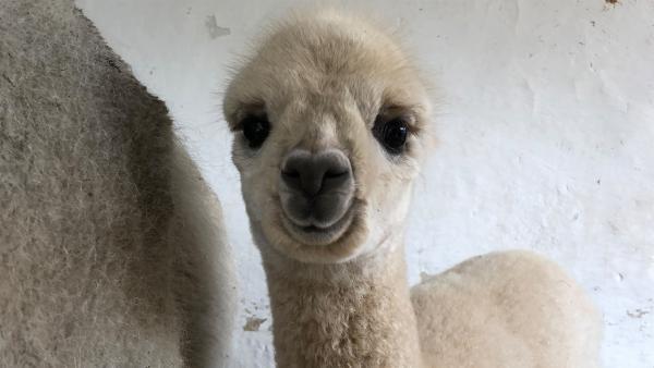 Das Trendtrier 2018: Alpakas   Rechte: KiKA/Cori Hinze