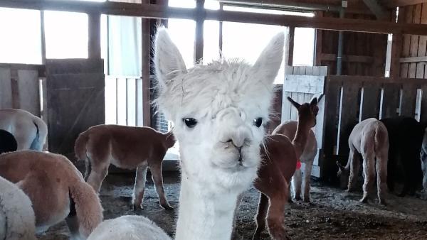 Ein kuschliges Alpaka   Rechte: KiKA/Grit Häfer