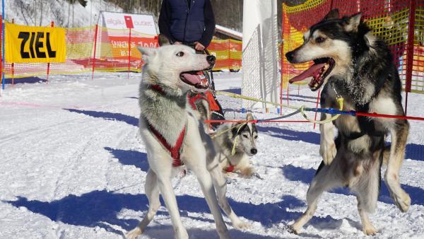 Sind die Hunde erstmal vor den Schlitten gespannt, ist die Aufregung riesengroß! | Rechte: KiKA/ Franziska Gruber