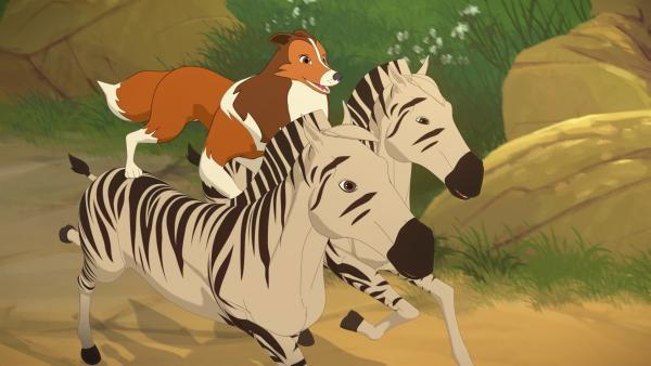 In einer spektakulären Aktion hat Lassie die ausgebrochenen Zebras unter ihre Kontrolle gebracht und galoppiert mit ihnen zurück zum Zirkuszug. | Rechte: ZDF/Superprod/ZDFE