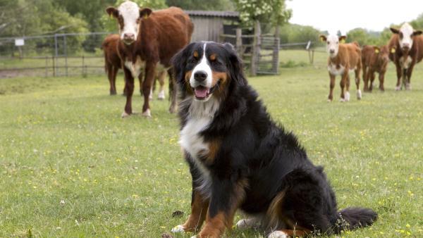 Keks trifft auf eine Kuhherde und freundet sich mit Karlotta Kuh an. | Rechte: ZDF/Zia Ziarno