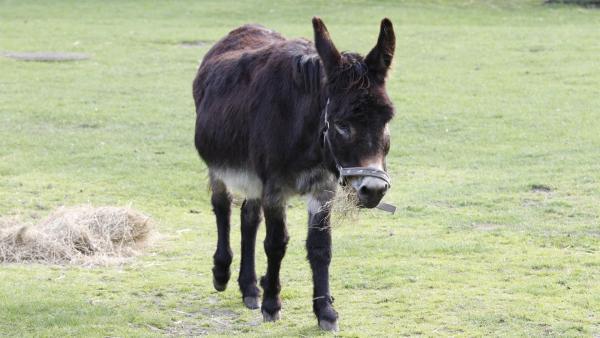 Ede Esel frisst für sein Leben gern. | Rechte: ZDF/Zia Ziarno