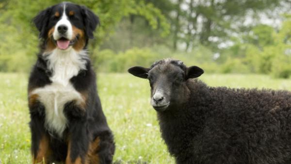 Keks und Schirley Schaf treffen sich auf der Wiese. So ein kuscheliges Fell hätte Keks auch gerne. | Rechte: ZDF/Zia Ziarno