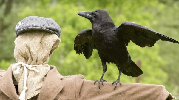 Rüdiger Rabe hat keine Angst vor einer Vogelscheuche. Übrigens ist er auch das klügste und schlauste Tier aller Zeiten. Ob das stimmt? Keks möchte es harausfinden. | Rechte: ZDF/Zia Ziarno