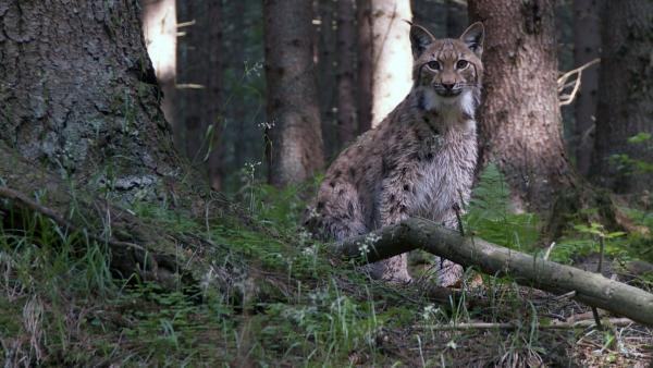 Lars Luchs hört im Wald jedes kleine Geräusch. | Rechte: ZDF/Studio TV