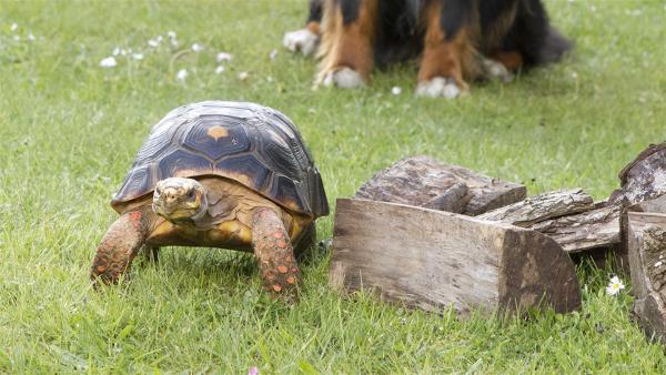 Keks trifft im Nachbarsgarten Solana Schildkröte. | Rechte: ZDF/Zia Ziarno
