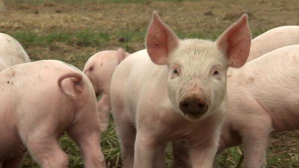 Schweinchen Sascha hat große Pläne. Er möchte die größte Schnüffelnase aller Zeiten werden. | Rechte: ZDF/Studio TV