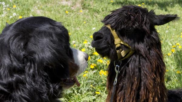 Keks trifft Alessandro Alpaka und bietet ihm seine Hilfe an. | Rechte: ZDF/Zia Ziarno