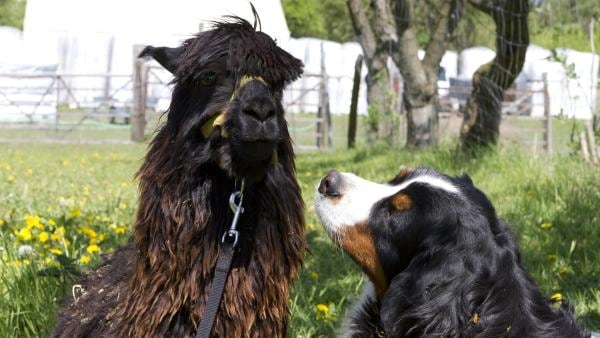 So sah Alpaka Alessandro vor seiner Schur aus. Aber wie sieht sein Freund mit kurzen Haaren aus? Keks macht sich auf und besucht ihn. | Rechte: ZDF/Zia Ziarno