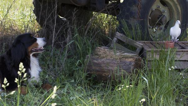 Keks hilft der erschöpften Brieftaube Tara auf der Suche nach einer Futterstelle. | Rechte: ZDF/Zia Ziarno