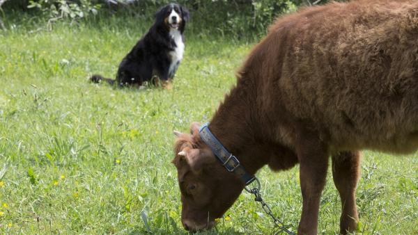 Hund Keks hilft Halina Highlander bei der Suche nach ihrem versteckten Lieblingsfutter. | Rechte: ZDF/Zia Ziarno