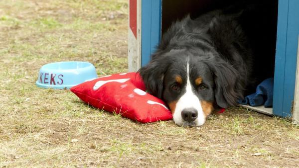 Berner Sennenhund Keks, zurück von seinem Abenteuer, wartet auf seinen Freund Fritz Fuchs. | Rechte: ZDF/Zia Ziarno