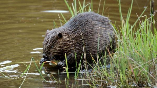 Ein nasser Biber am Flussufer. | Rechte: ZDF