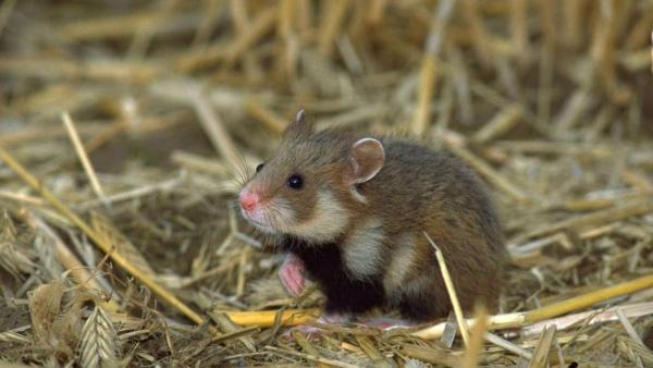 Kleiner Hamster steht auf Hinterbeinen im Stroh und schaut aufmerksam zur Seite. | Rechte: ZDF