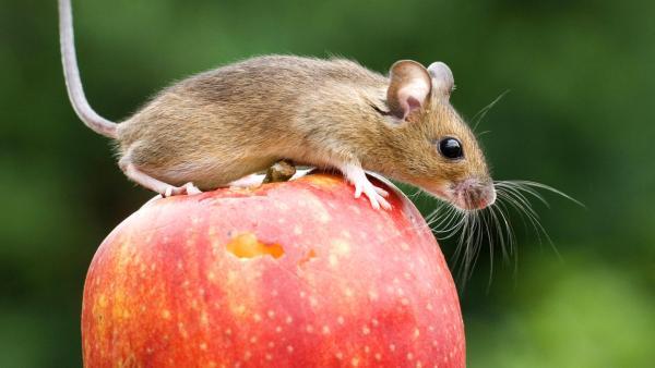 Eine Maus sitzt auf einem Apfel | Rechte: imago