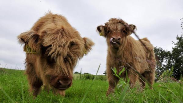 Zwei junge Hochlandrinder weiden auf einer Wiese. | Rechte: ZDF