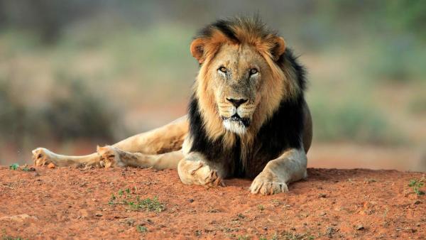 Löwe liegt auf einer Sandfläche und blickt in die Kamera | Rechte: ZDF