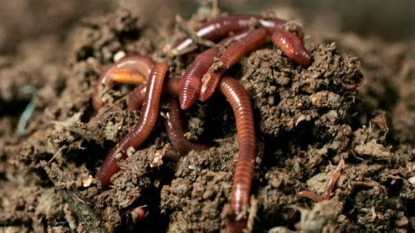 Regenwürmer buddelt sich aus der Erde. | Rechte: ZDF